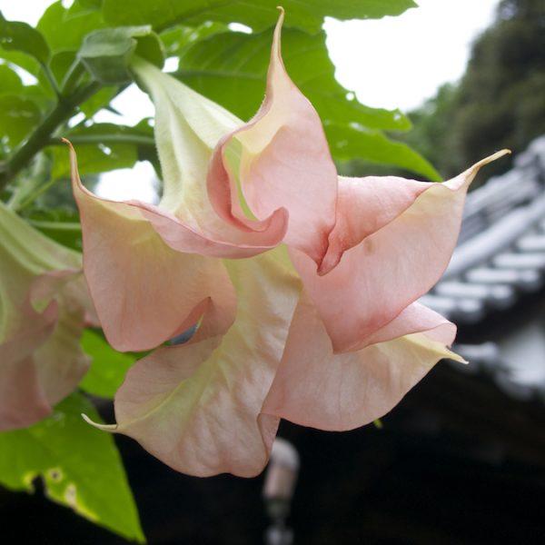 Fiore giapponese e pagoda